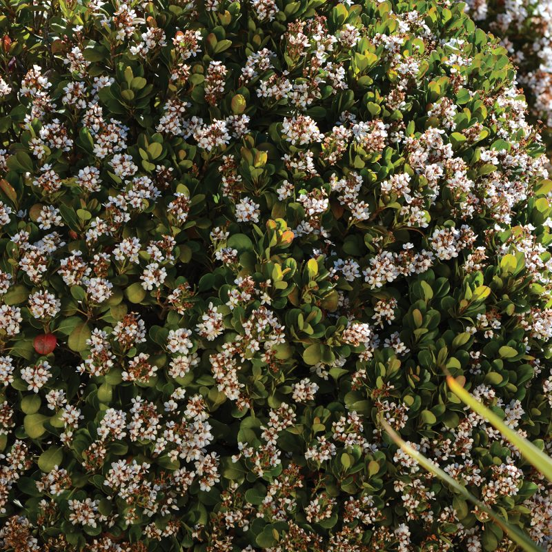 Rhaphiolepis Oriental Pearl