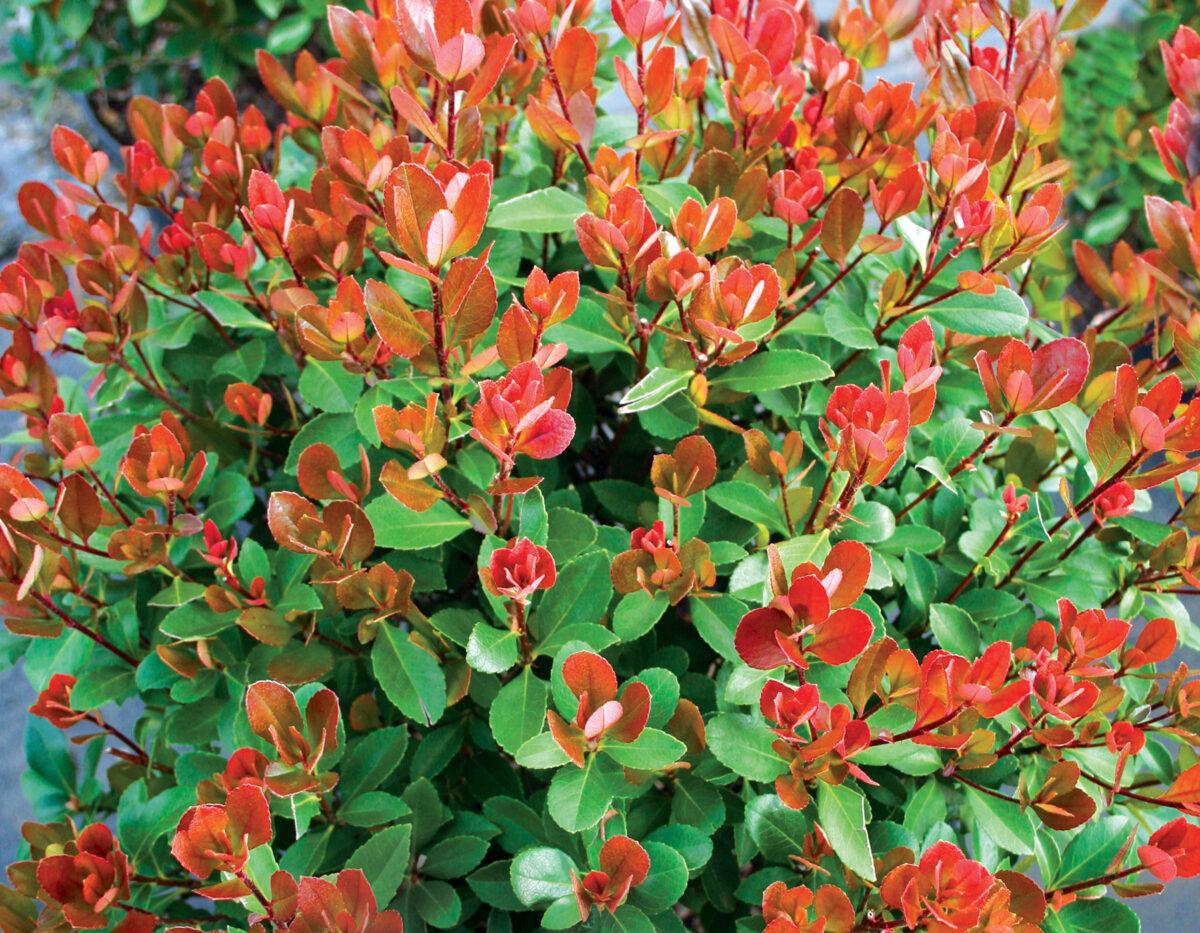 Redbird Rhaphiolepis