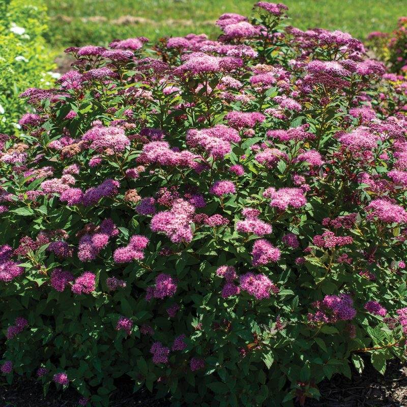 Empire Ice Dragon Spiraea