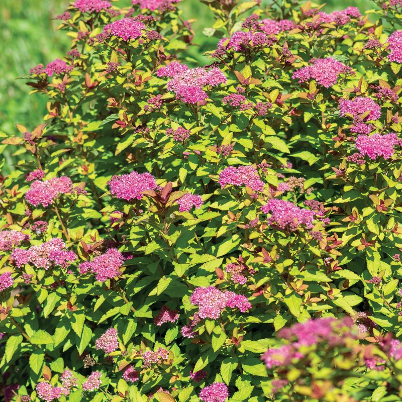 Empire  Northern Lights Spiraea