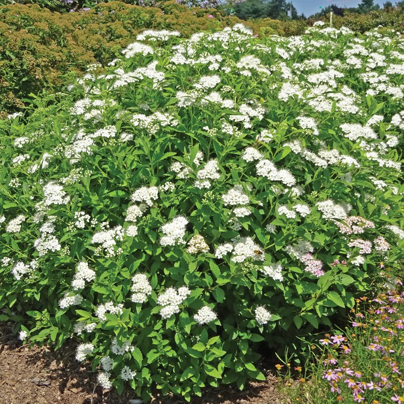 Empire Yeti Spiraea