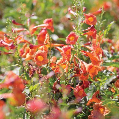 Tecoma Red Hot