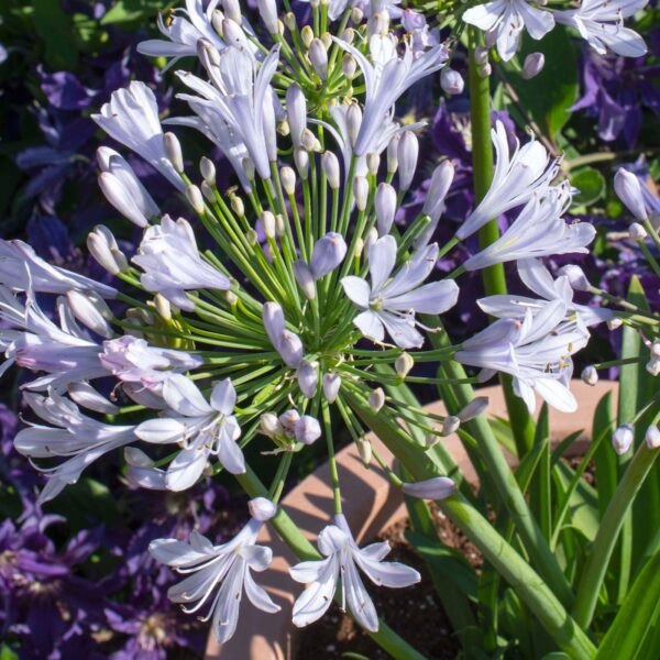 Straight A Blue Flare Agapanthus 2