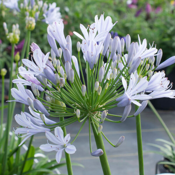 Straight A Blue Flare Agapanthus 3