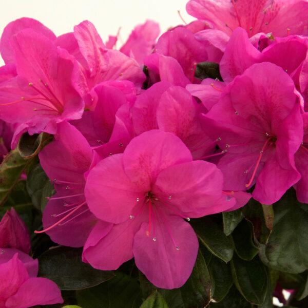FlorAmore Hot Pink Azalea 1