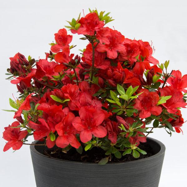 FlorAmore Red Azalea