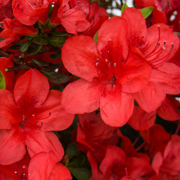 FlorAmore Red Azalea 1