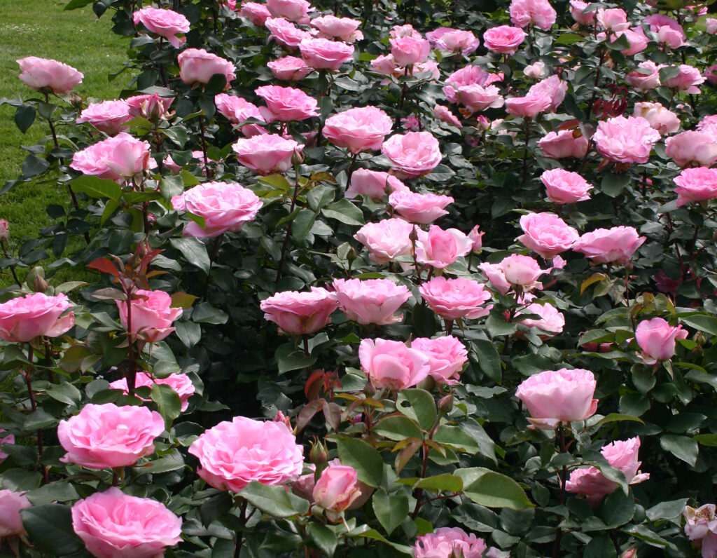 Go to the Eleganza Rose Collection Page