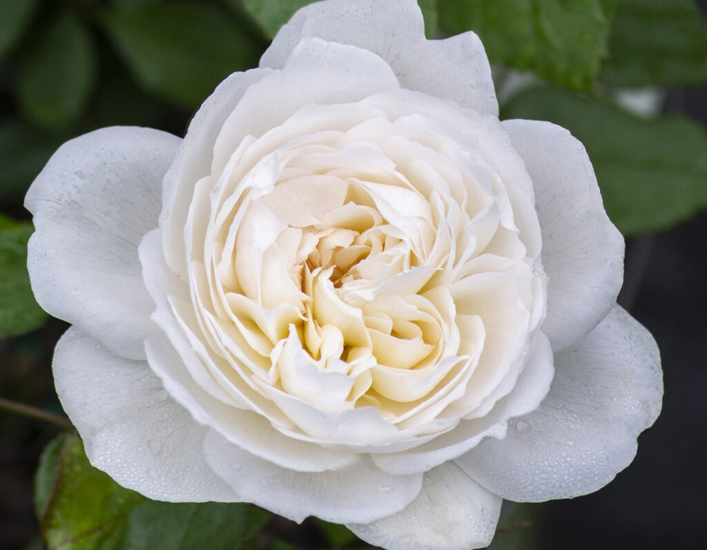 Go to the Fragrant Rose Collection