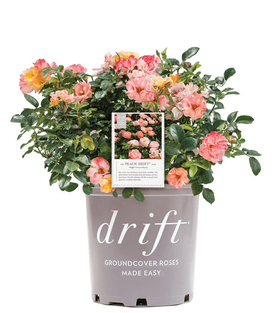 Go to the Drift® Groundcover Roses Made Easy Website