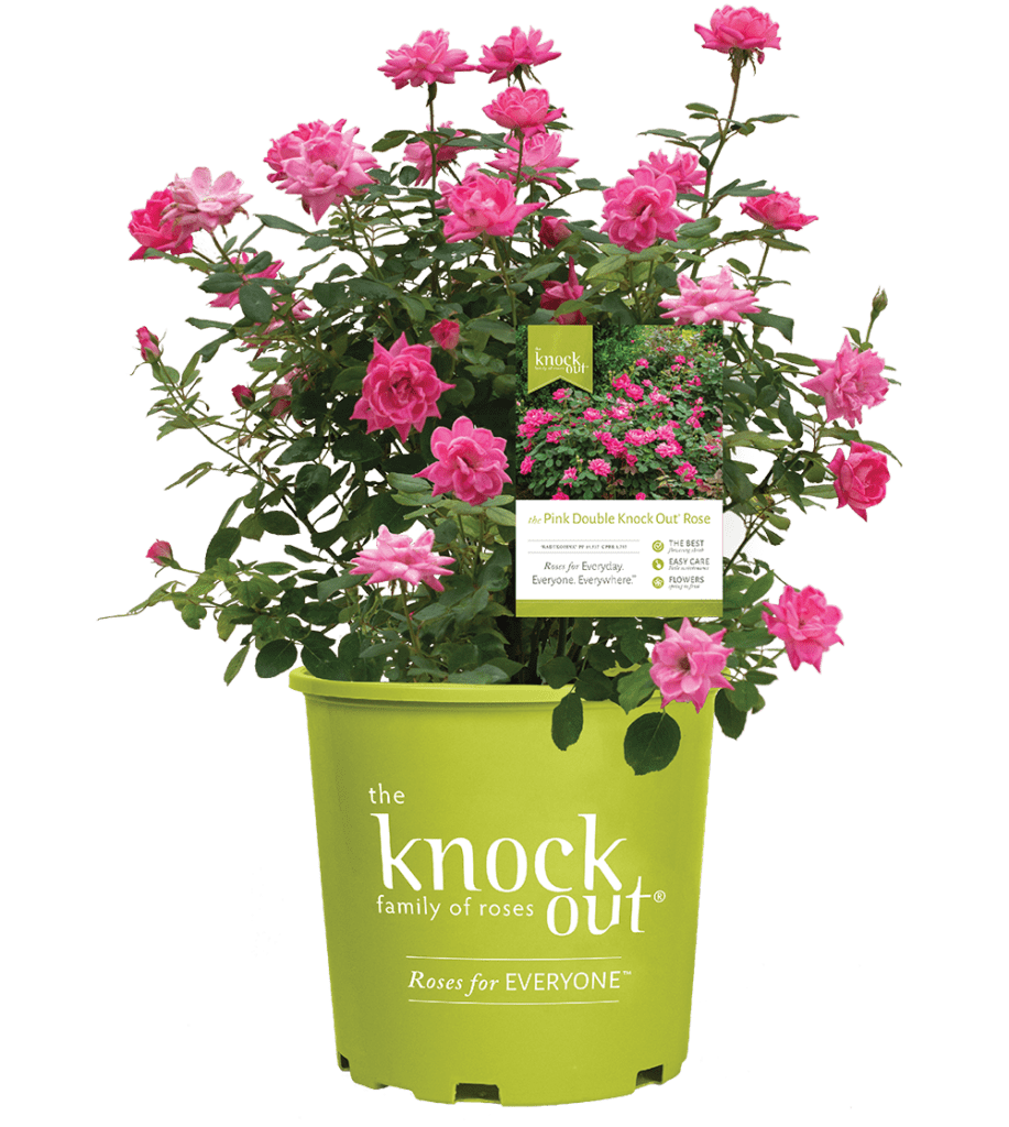 Go to the Knock Out® Family of Roses Website