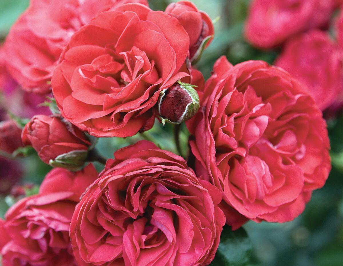 Crimson Bouquet 1