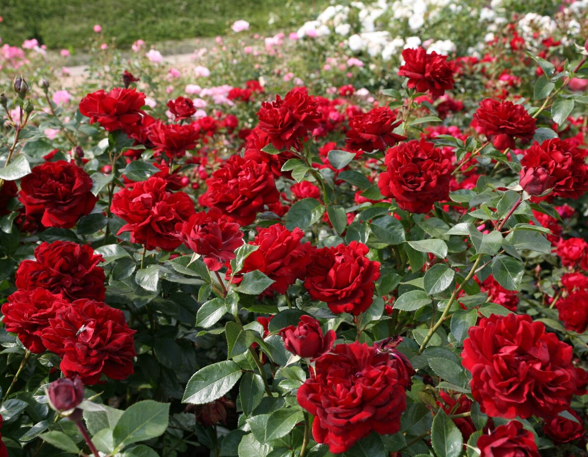 Go to the Sunbelt Roses Collection page