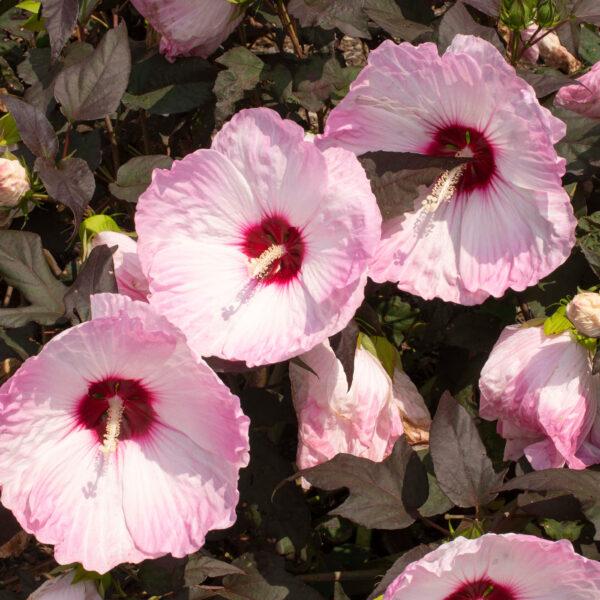 Head Over Heels Blush Hibiscus 1