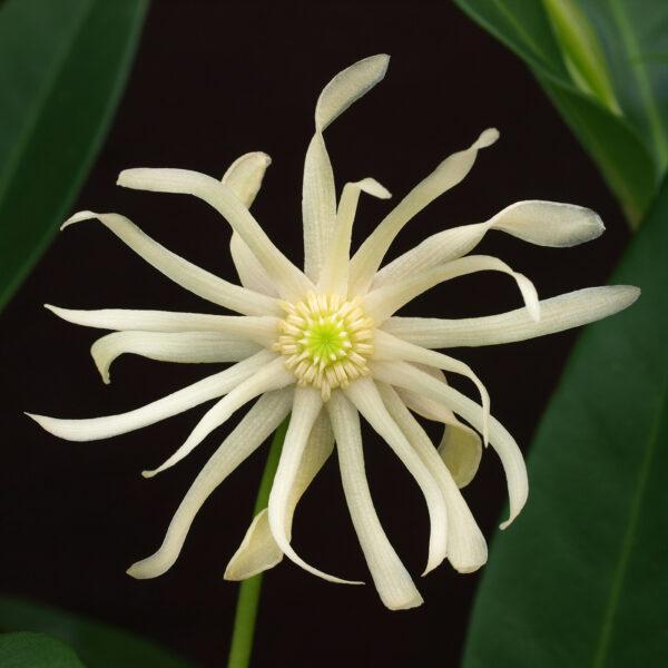 Illicium Star Flower Orion 2
