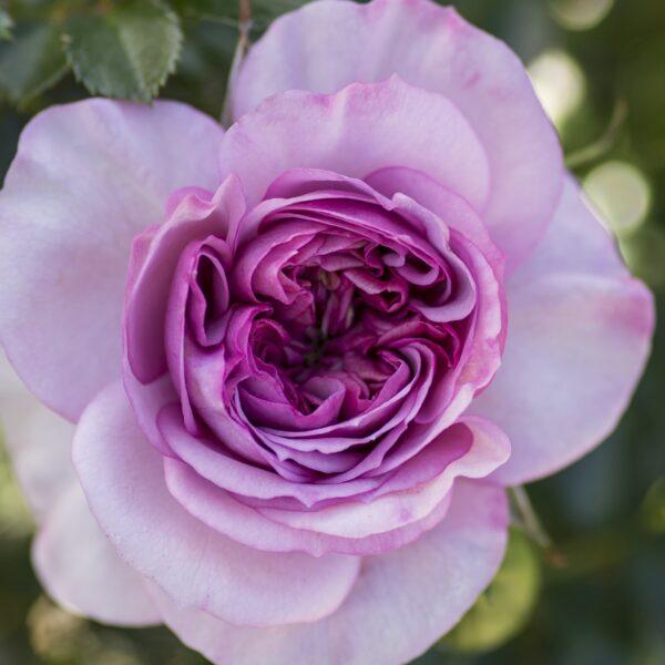 Lavender Veranda