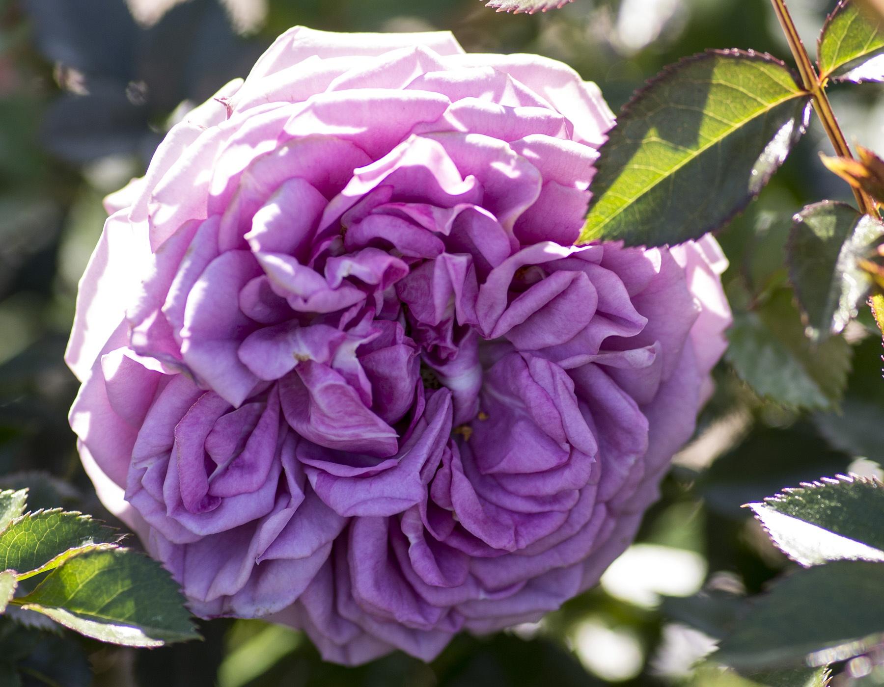 Lavender Veranda 2
