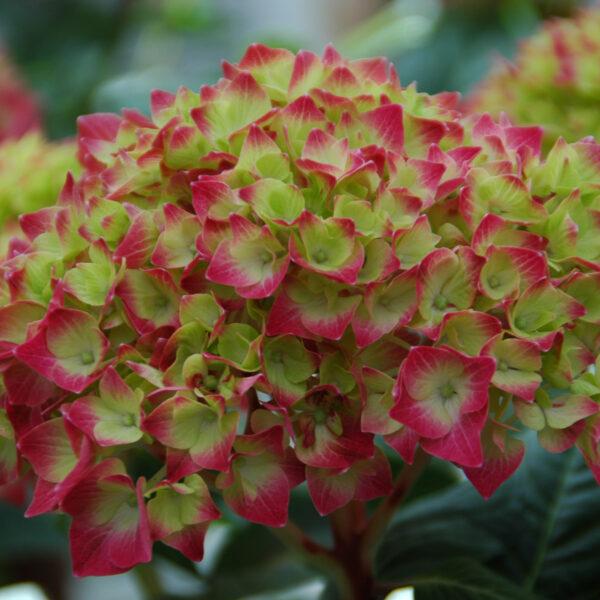 Hydrangea Lime Lovebird 1