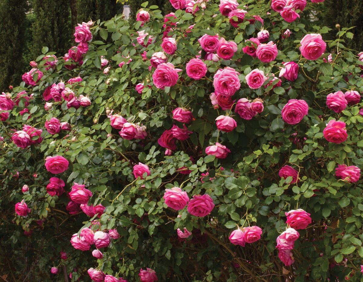 Pretty In Pink Eden Climber