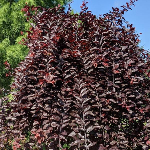 Purple Plunge Prunus 2