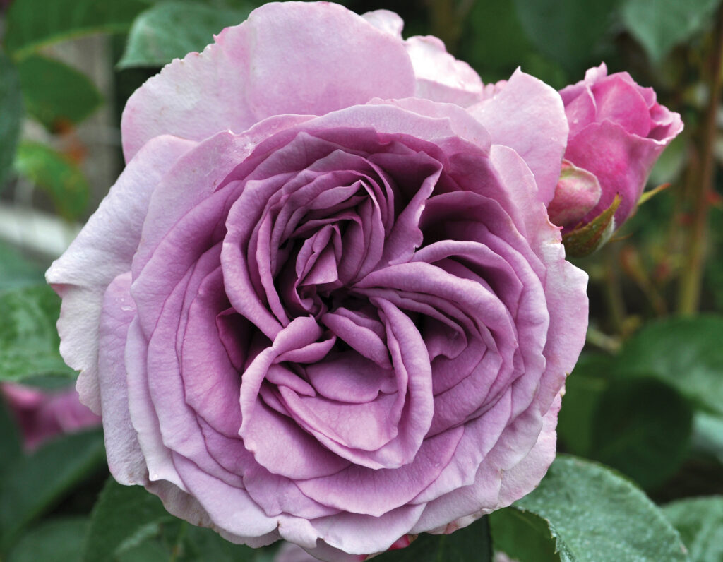 Go to the Arborose Roses Collection page