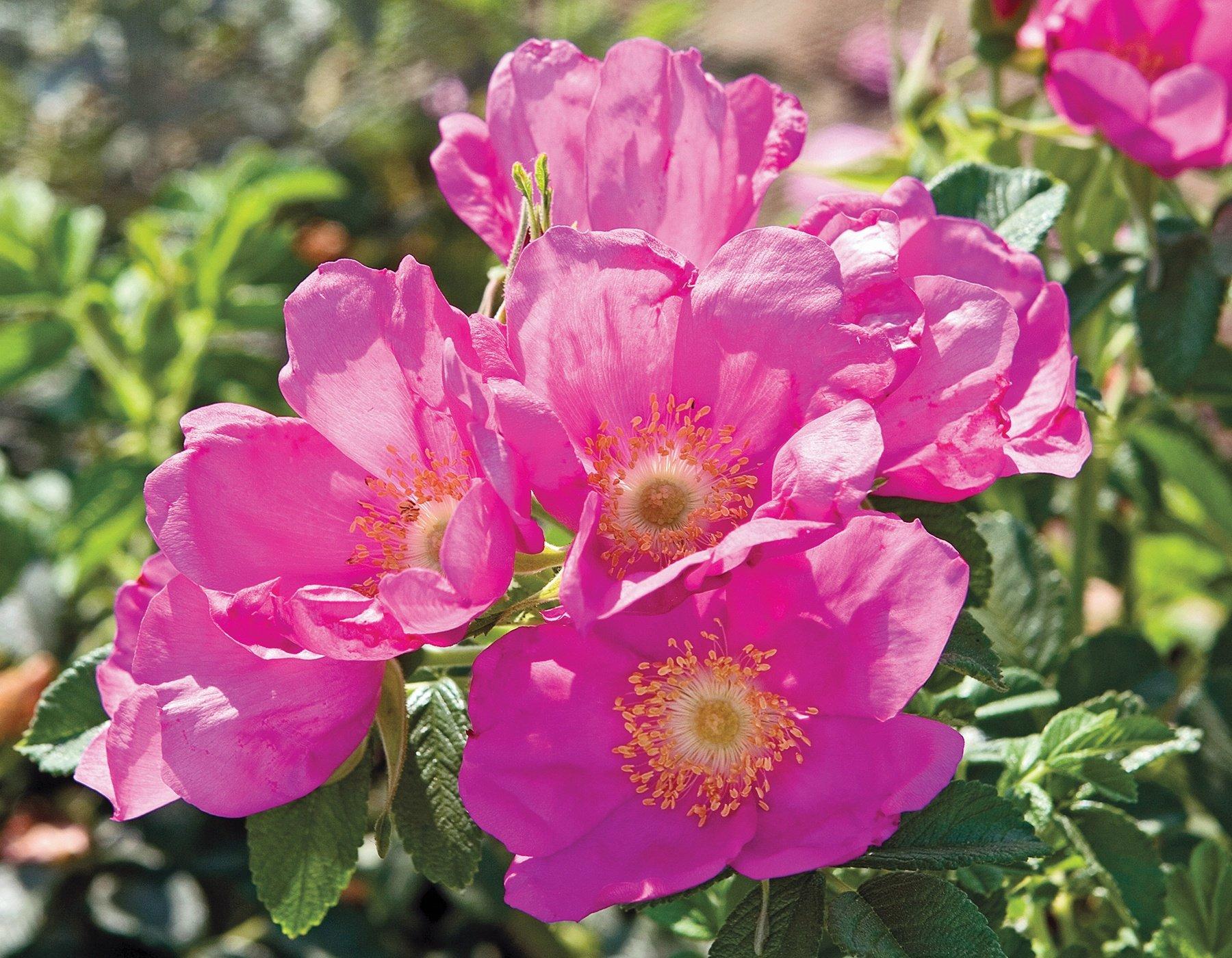 Raspberry Rugostar 3