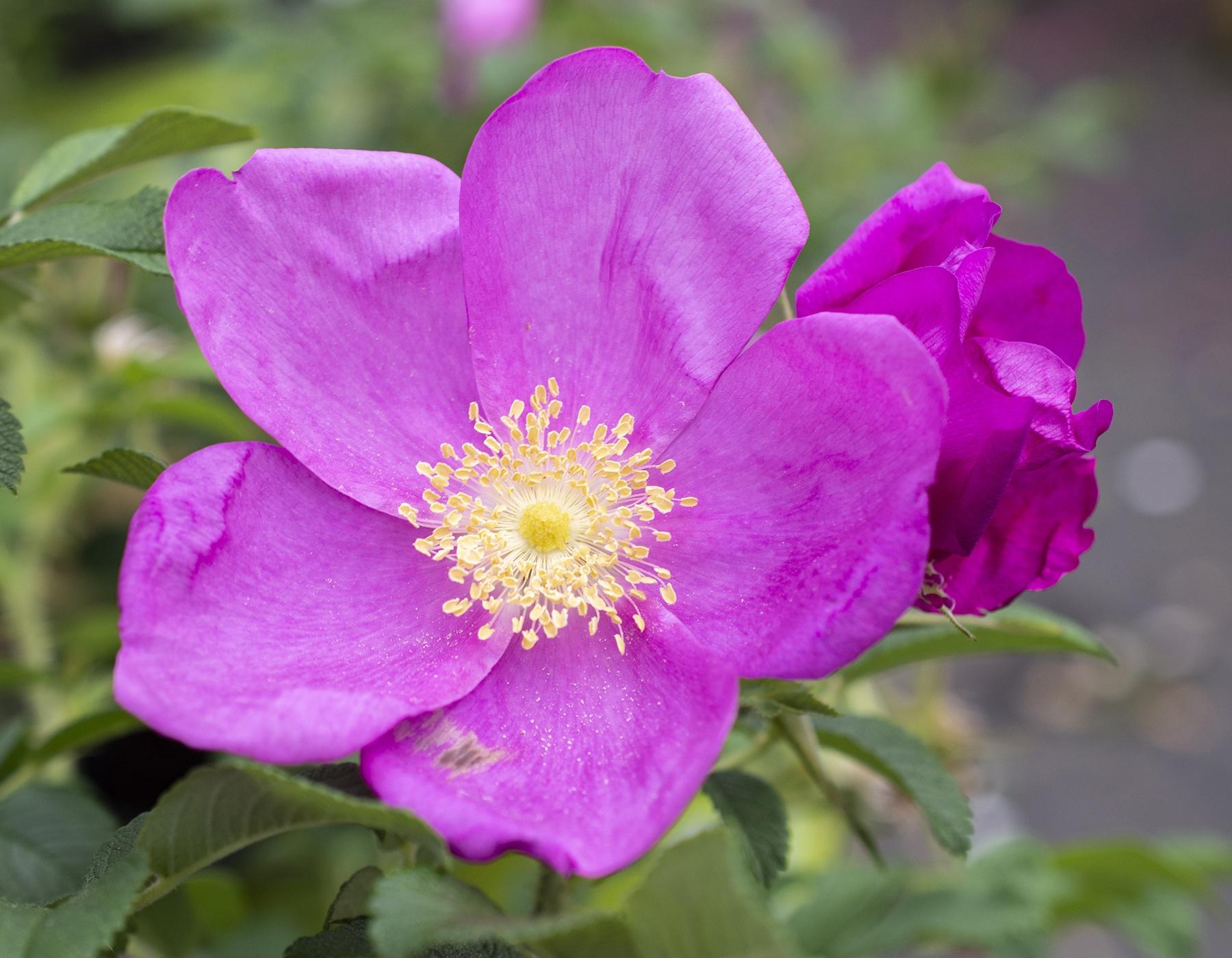 Raspberry Rugostar 4