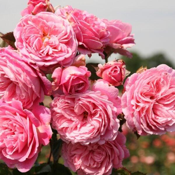 Summer Romance Parfuma