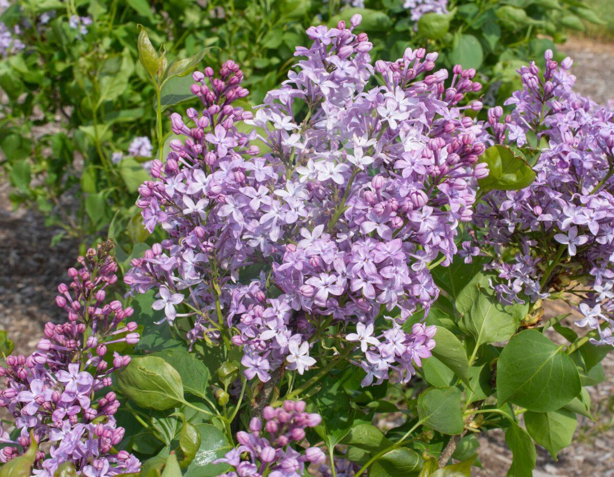 Syringa New Age Lavender
