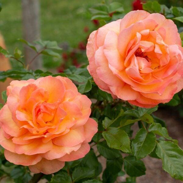 Tangerine Skies Arborose 2