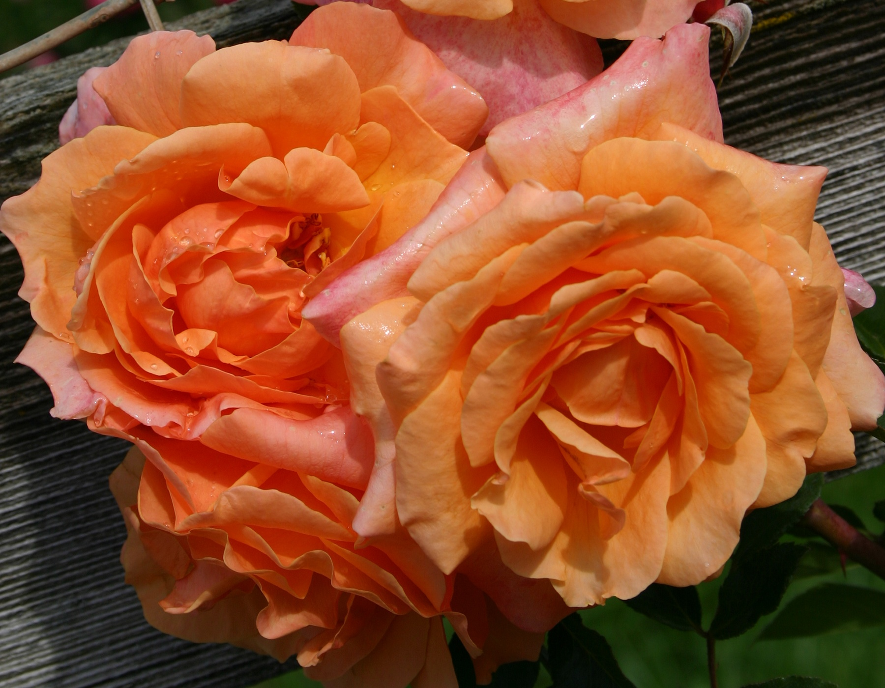 Tangerine Skies Arborose