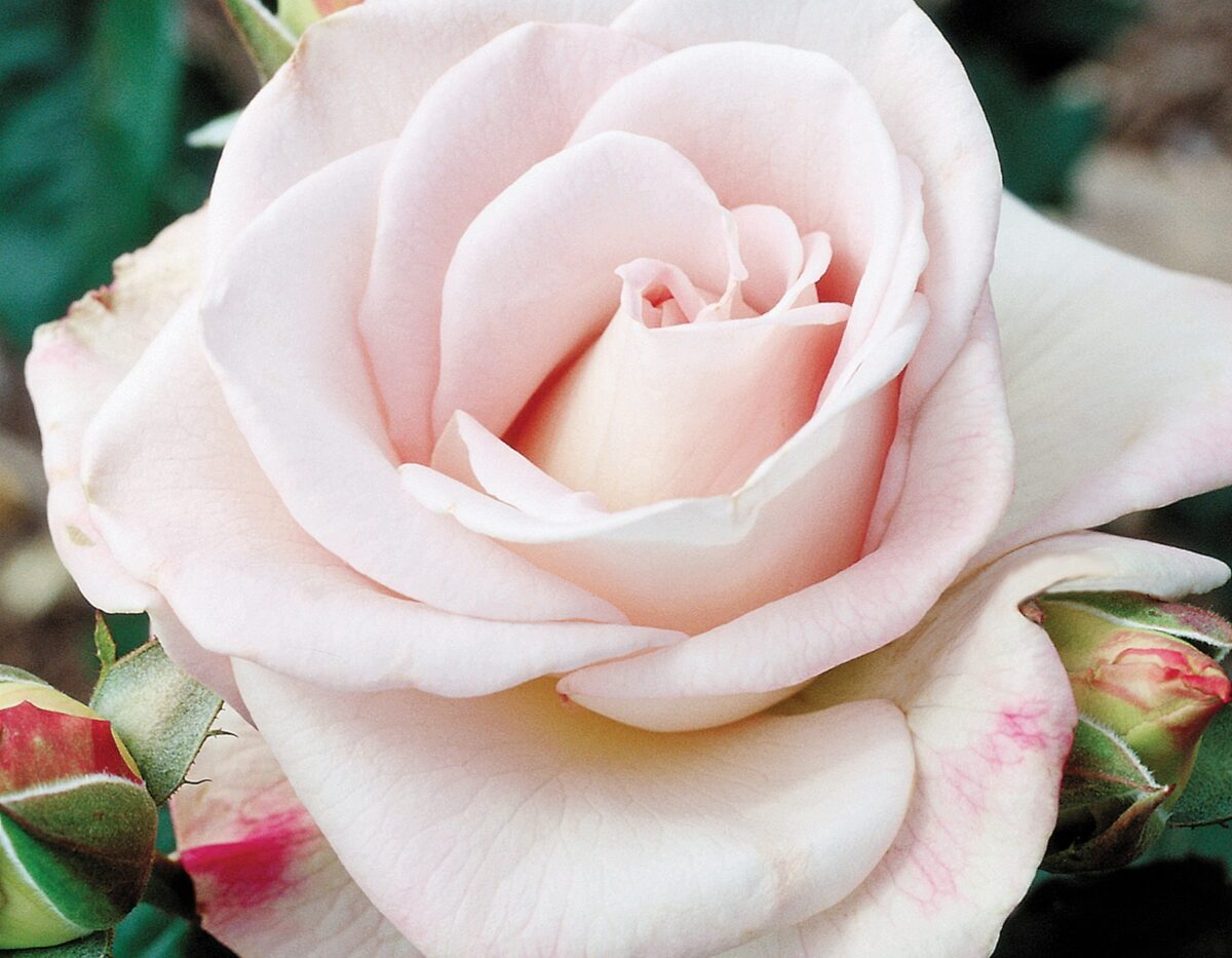 World War II Memorial Rose