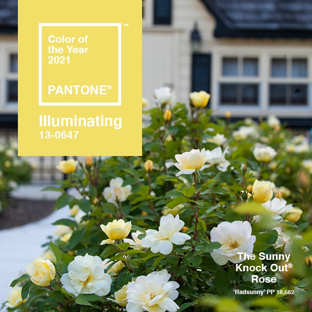 Pantone color of the year Illuminating 13-0647 Instagram Post featuring The Sunny Knock Out Rose
