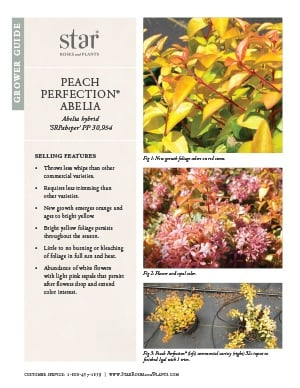 Open the Abelia Peach Perfection Grower Guide