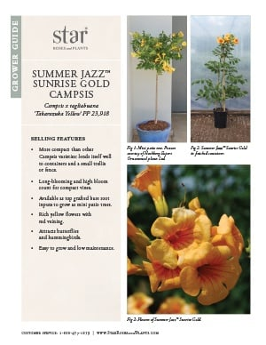 Open the Campsis Summer Jazz Sunrise Gold Grower Guide