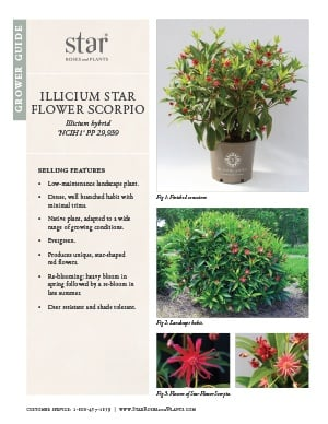 Open the Illicium Star Flower Scorpio Grower Guide