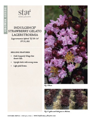 Open the Lagerstroemia Strawberry Gelato Grower Guide