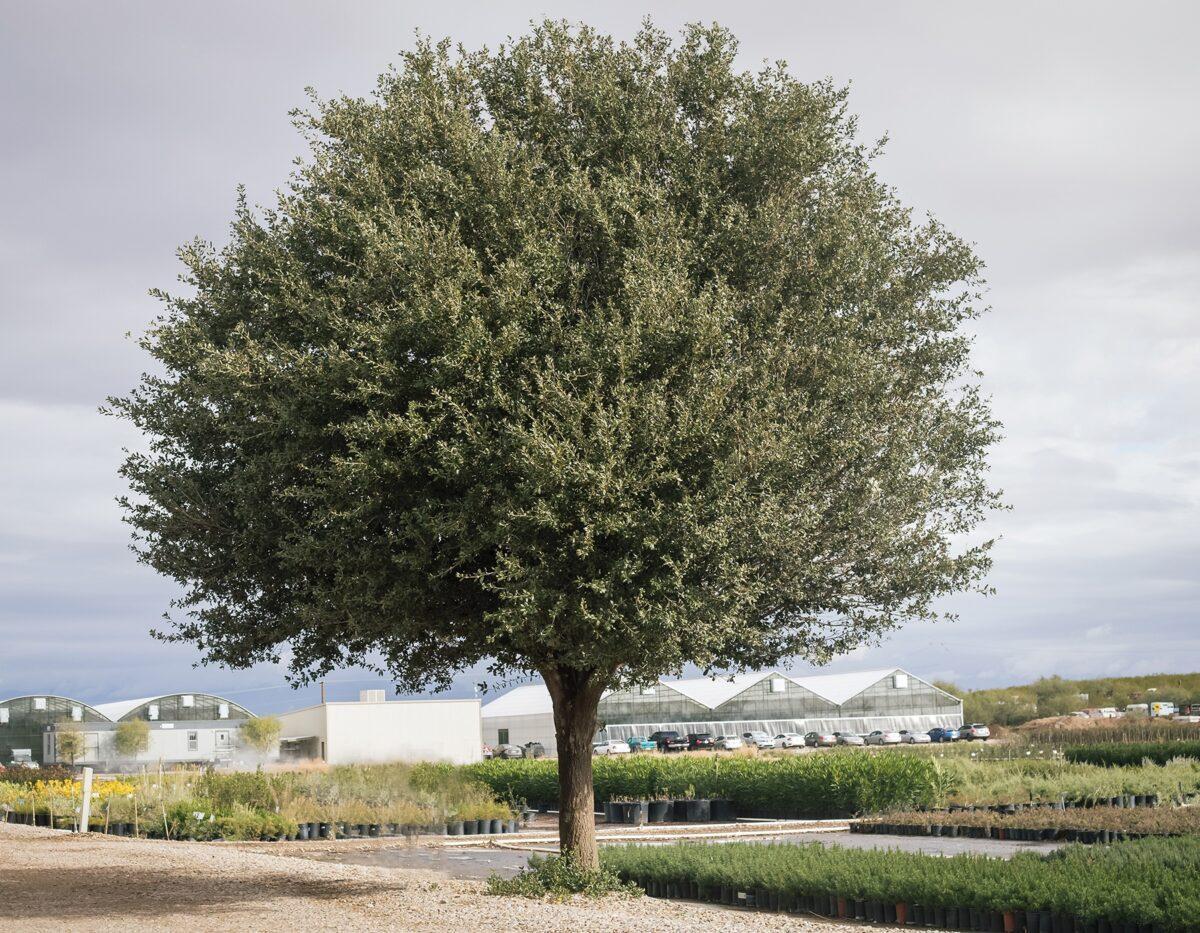 FlorAmore White Azalea
