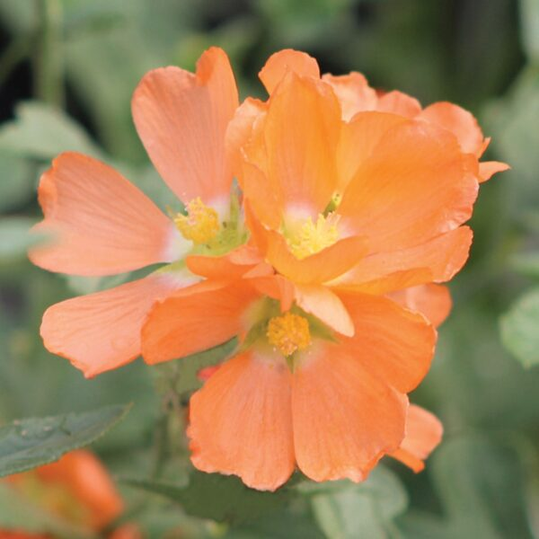 FlorAmore White Azalea 1