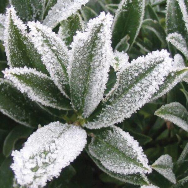FlorAmore White Azalea 2